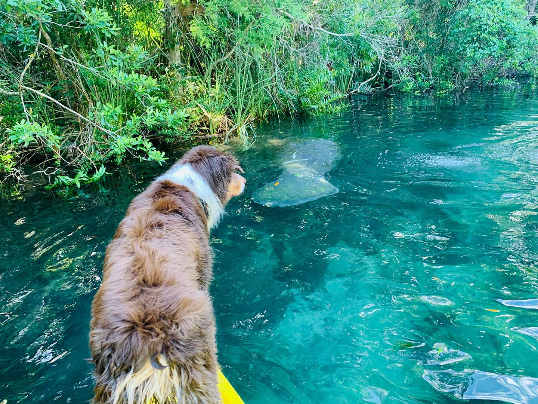 Dog watching manatees in Weeki Wachee